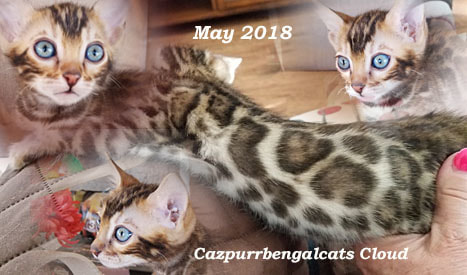 Cazpurr Bengal Cats - Welcome to Arizona Cazpurr bengal cats